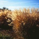 Miscanthus sinensis 'Autumn Light