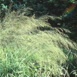 Molinia litorialis 'Transparent'
