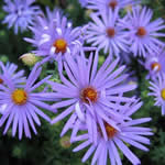 Aster oblongifolius 'October Sky'