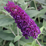 Buddleia 'Black Knight'