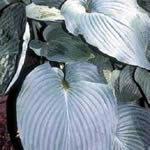 Hosta Hybrid Cultivars 'Blue Angel'