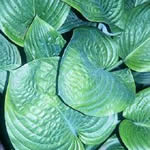 Hosta Hybrid Cultivars 'Blue Umbrellas'