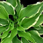 Hosta fortunei 'Antioch'