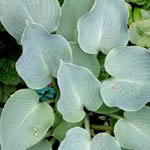 Hosta tardiana 'Blue Wedgwood'