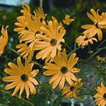 Helianthus angustifolius 'Gold Lace'