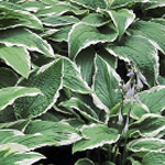 Hosta fortunei 'Albo-marginata'