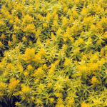 Solidago x 'Little Lemon' PP