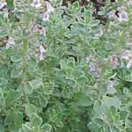 Thymus citriodorus 'Silver Edge'
