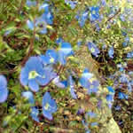 Veronica prostrate 'Heavenly Blue